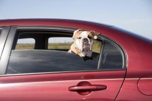 Fährt ein Hund im Auto mit, muss einiges beachtet werden.