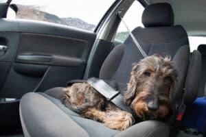 Laut Ladungssicherung müssen Sie Ihren Vierbeiner sichern, z. B. indem Sie den Hund anschnallen.